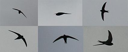Brixton swifts