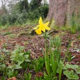 It's still mighty cold out there today, but spring is slowly coming, as witnessed by this lone daffodil spotted in Ruskin Park on the weekend.