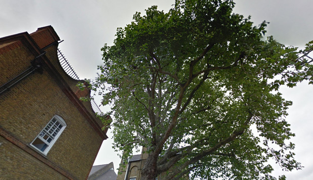 Save This Tree campaign battles to keep a fine London Plane from the axe