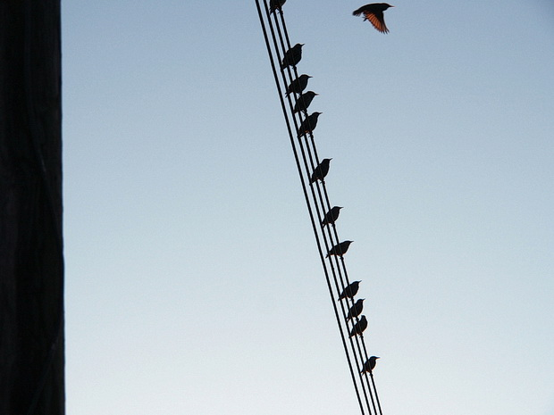 Birds on a wire, Canvey Island, Essex