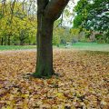 Green Park goes for the full autumnal colours, Nov 2020