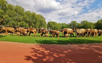 In photos: the roaming elephant herds of Chelsea