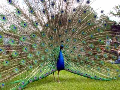 Peacock In Action Big Chill Larmer Tree Gardens England Uk